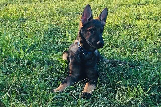 Gajus Kantonspolizei Bern Hund