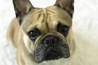 Französische Bulldogge Kapo Bern